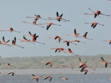 Parque Natural Los Flamencos Rosados, en La Guajira donde estas aves hallan su primer amor